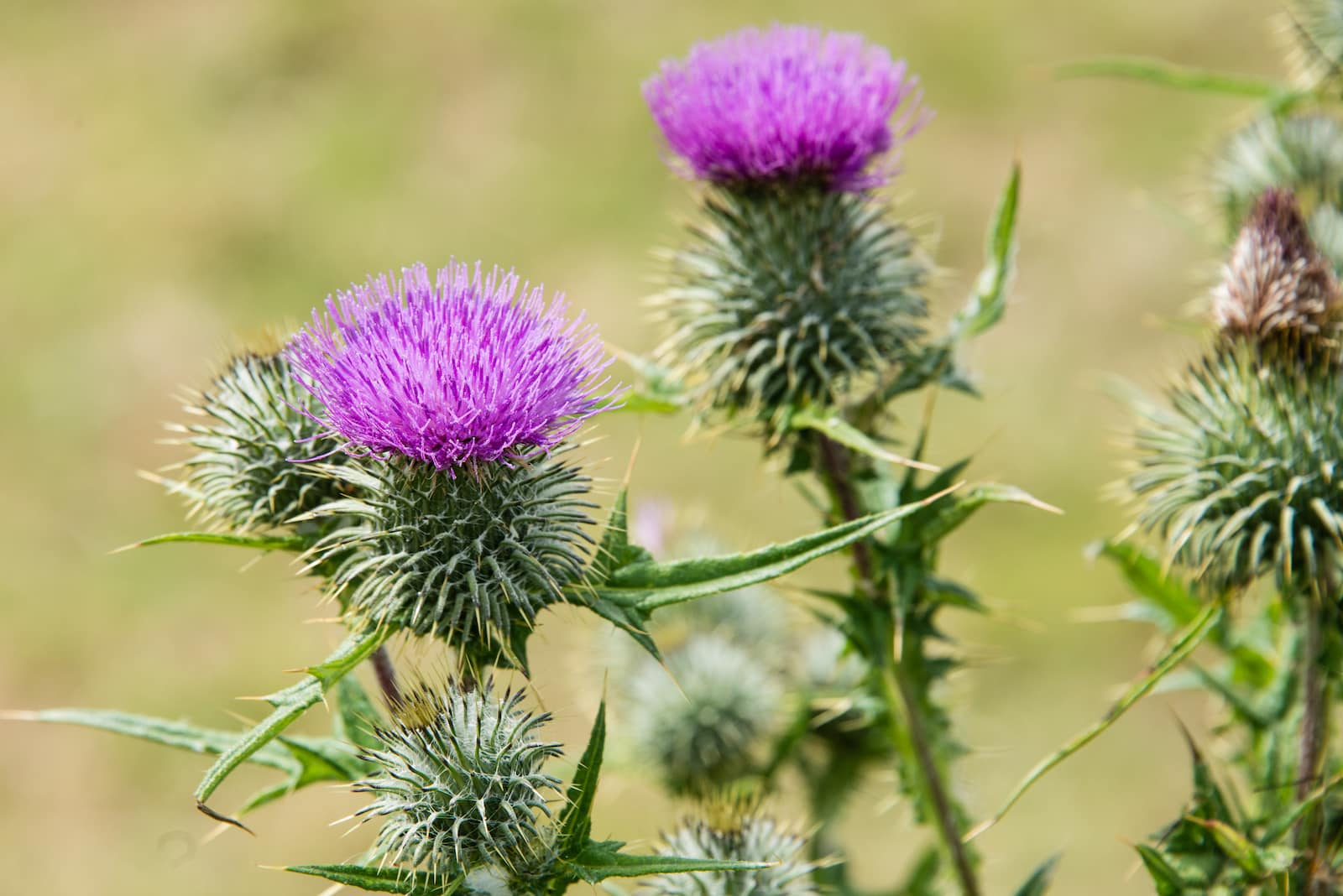 Milk Thistle: A Liver-Friendly Herb