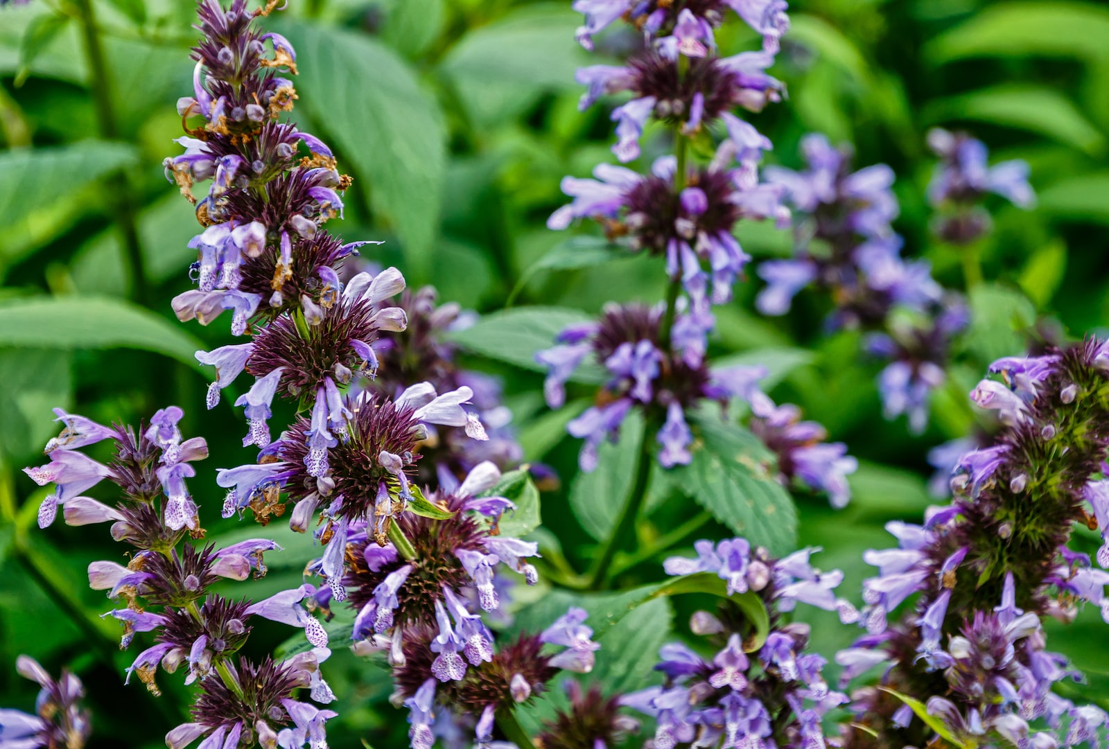 Catmint: An Herb For Cats And Humans