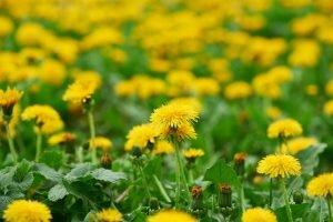 sow thistle vs dandelion