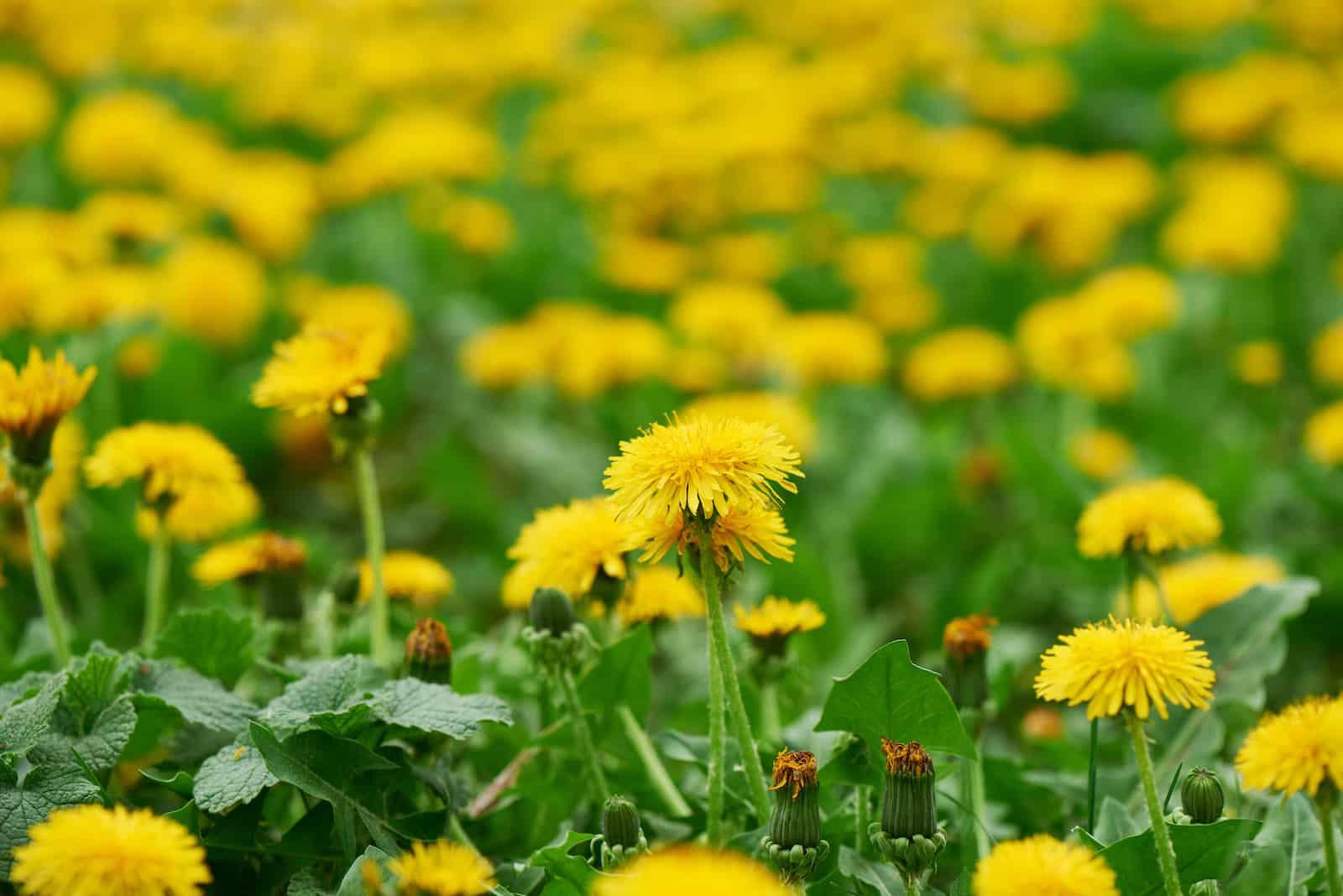 Sow Thistle Vs. Dandelion: SPICEography Showdown