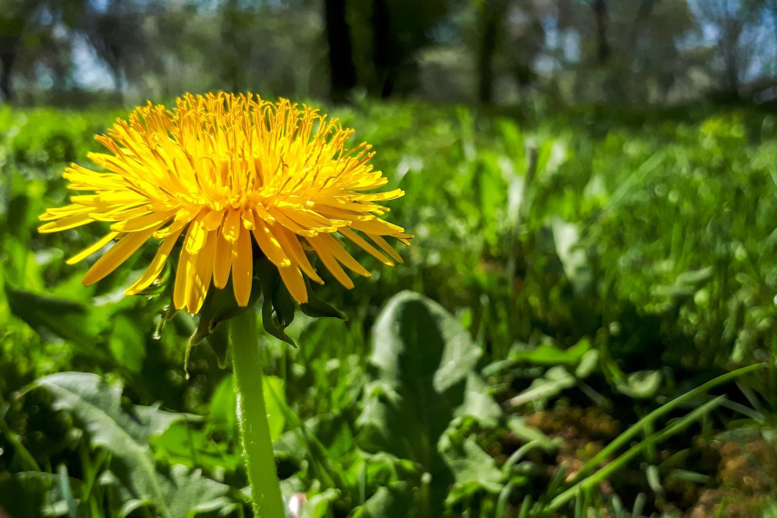 Sow Thistle: A Mild, Foraged Salad Green