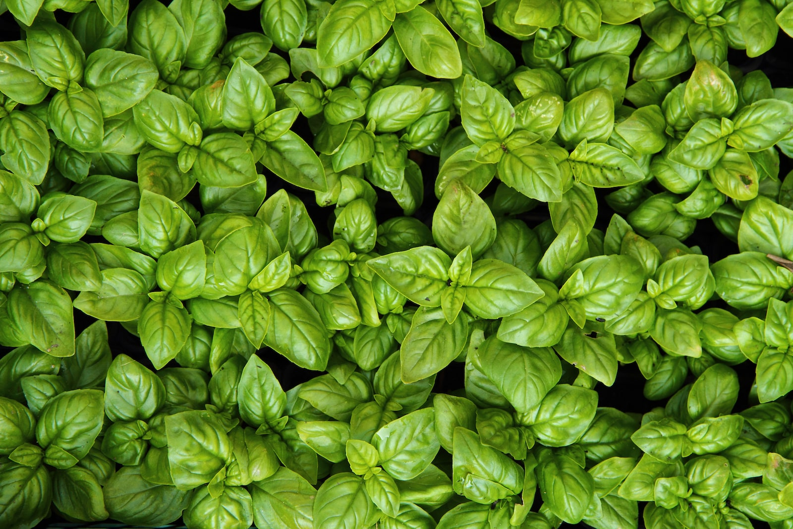 Five Classic (And Tasty) Basil Uses