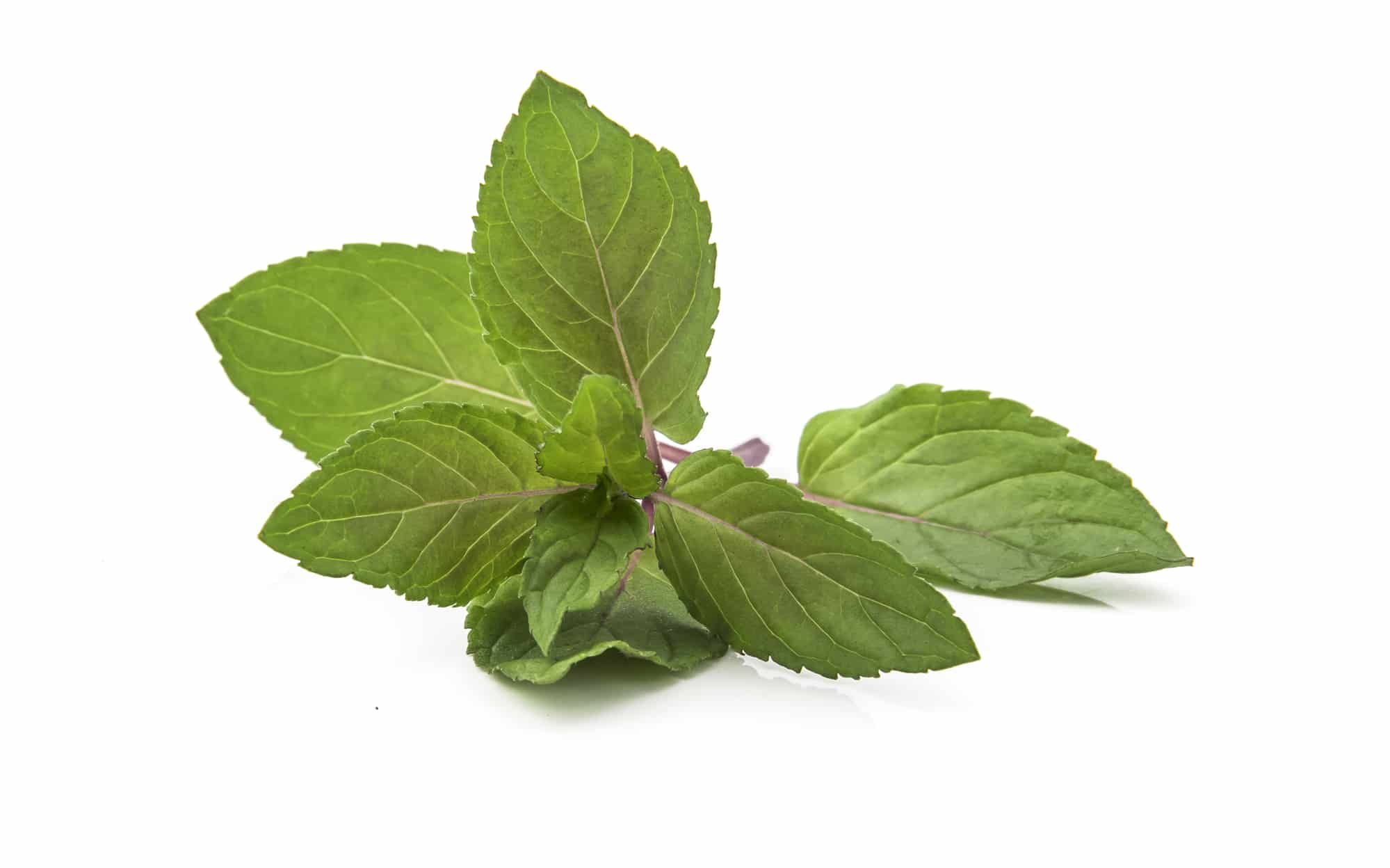 Chocolate Mint: A Controversial Mint