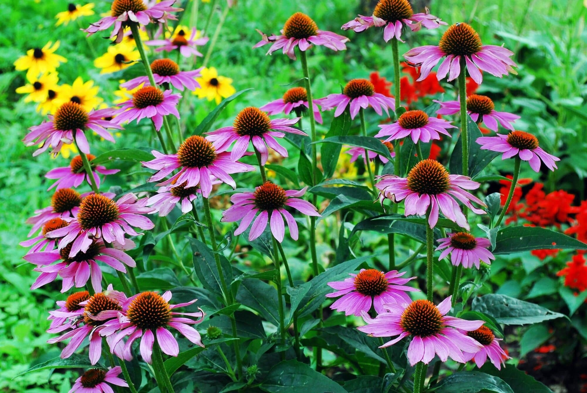 Echinacea: A Native American Cure-All