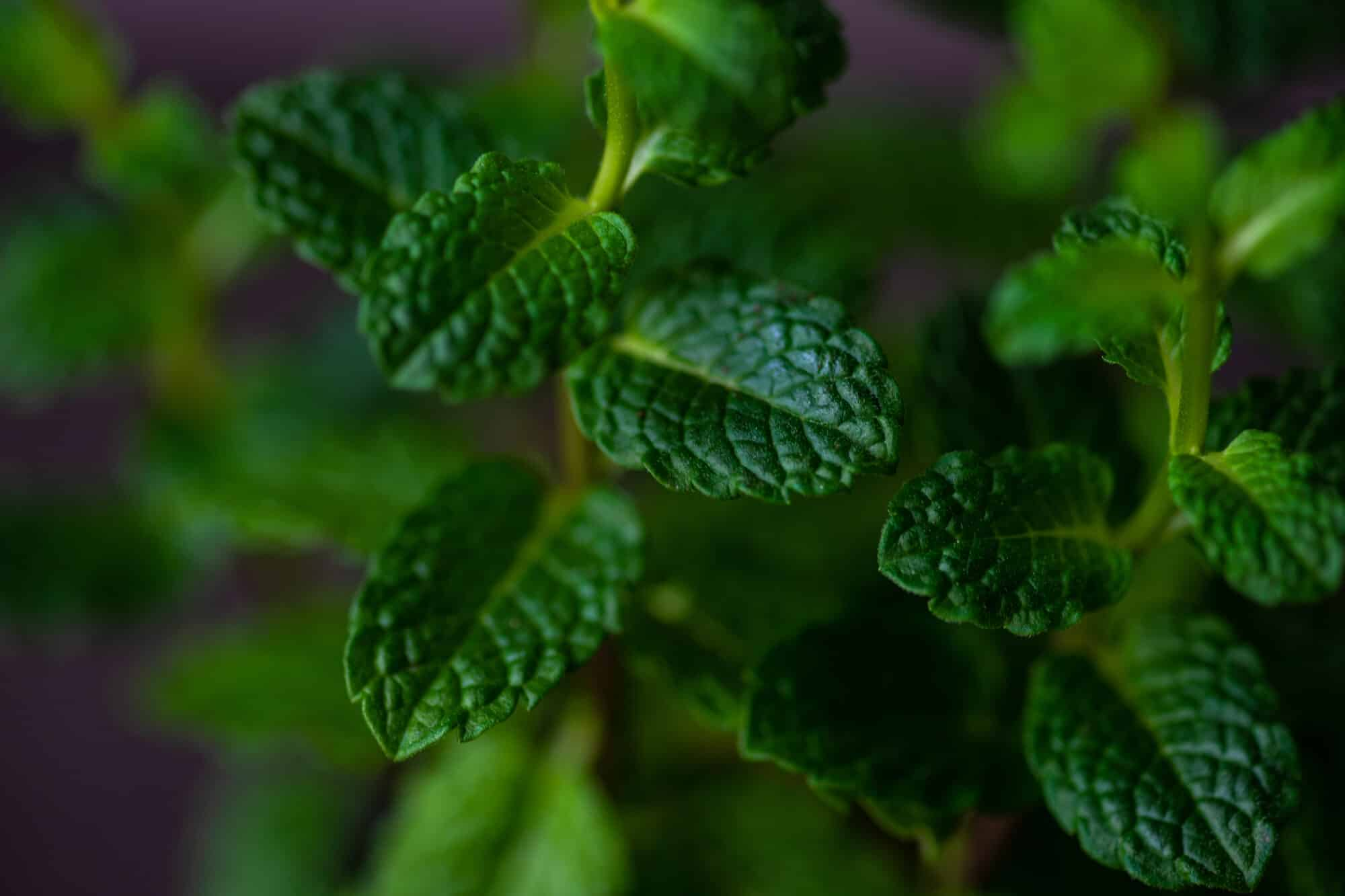 Moroccan Mint: North Africa's Beloved Tea Herb