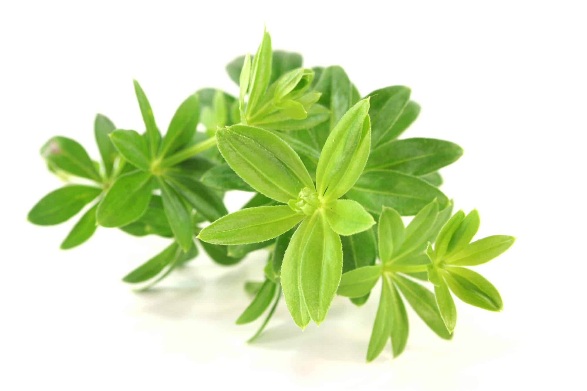 Sweet Woodruff: A Sweet-Scented Dessert And Beverage Herb