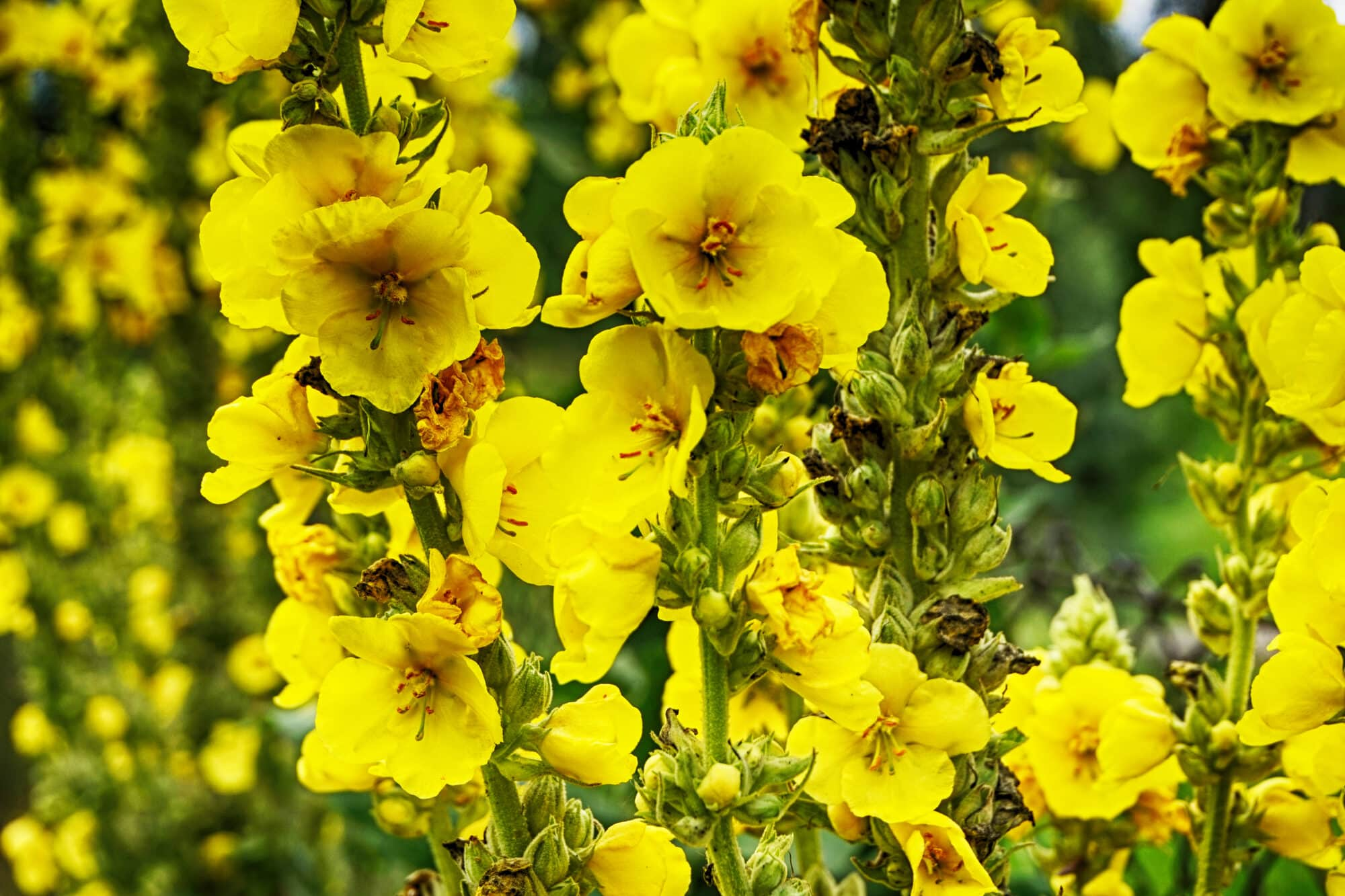 Mullein: A Hairy Herb