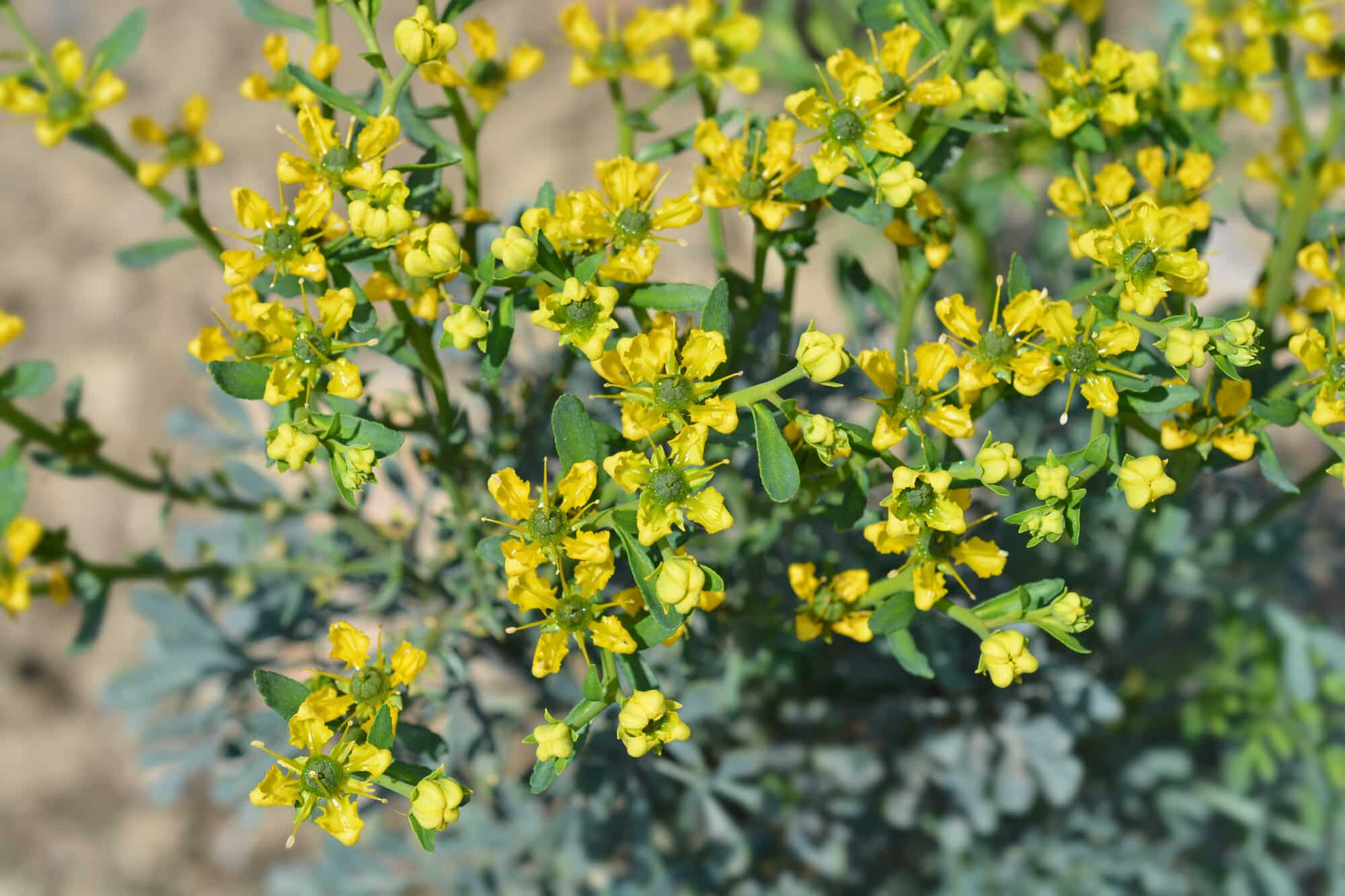 Common Rue: A Bitter But Valuable Ingredient