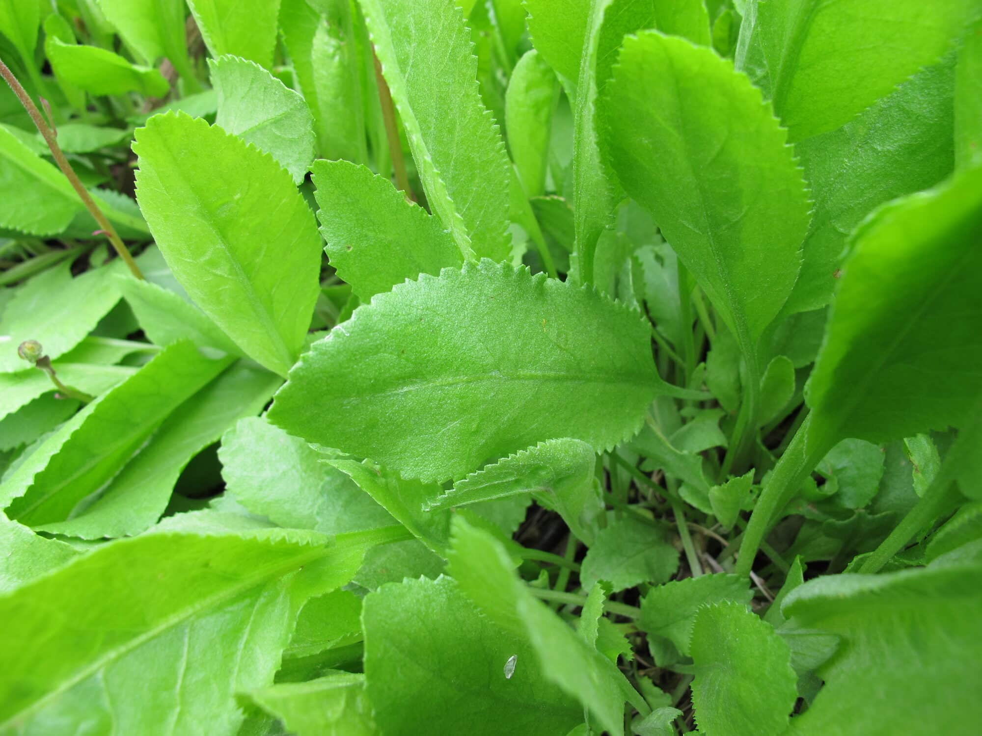 Costmary: A Mint Alternative In The Dandelion Family