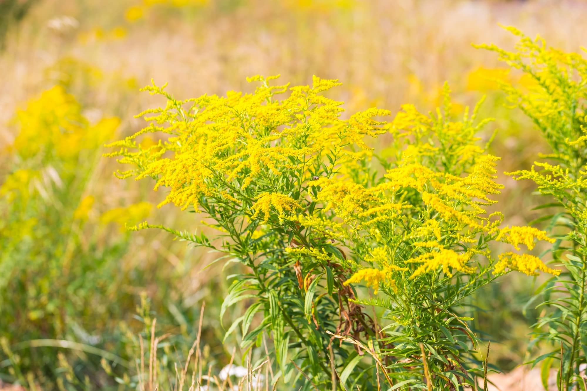 Goldenrod: The Top Wound Herb