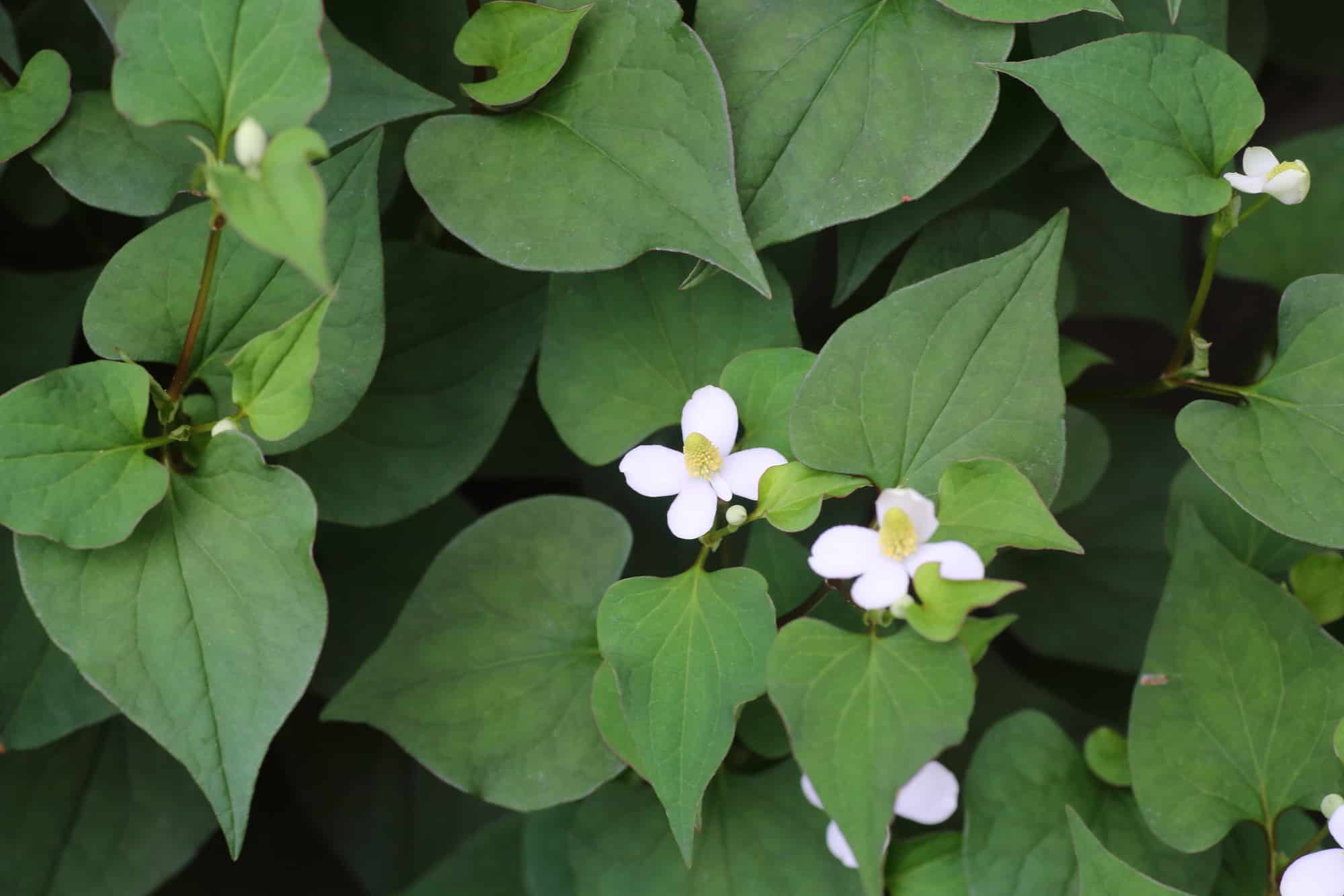 Houttuynia Cordata: The Fish Herb