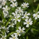 Chickweed uses