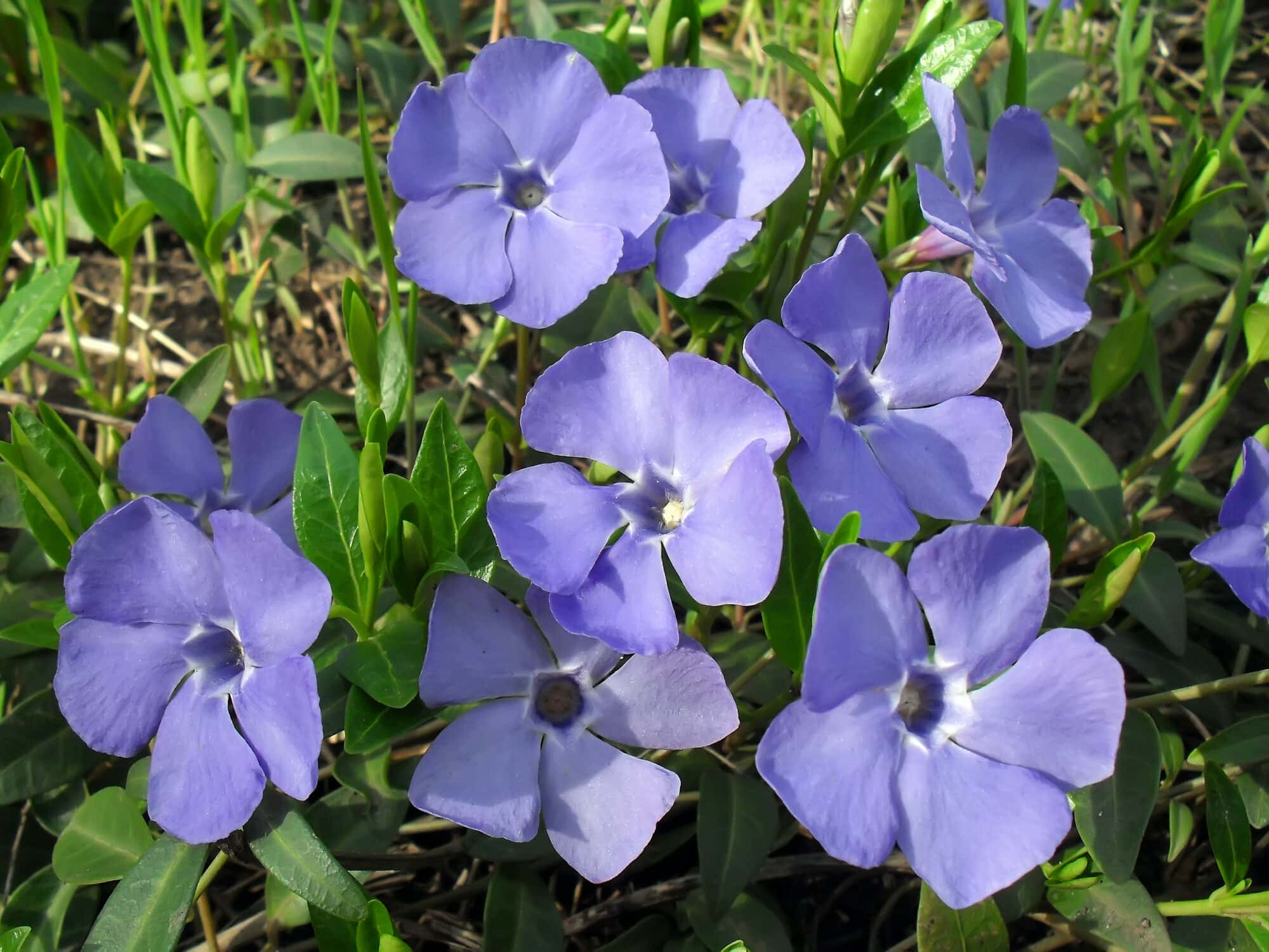 Periwinkle: An Herbal Memory Enhancer