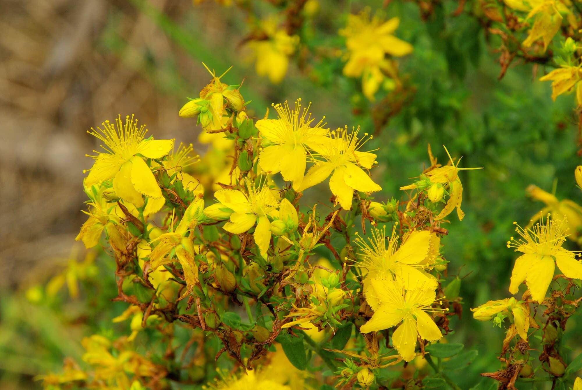St. John's Wort: A Proven Herbal Antidepressant