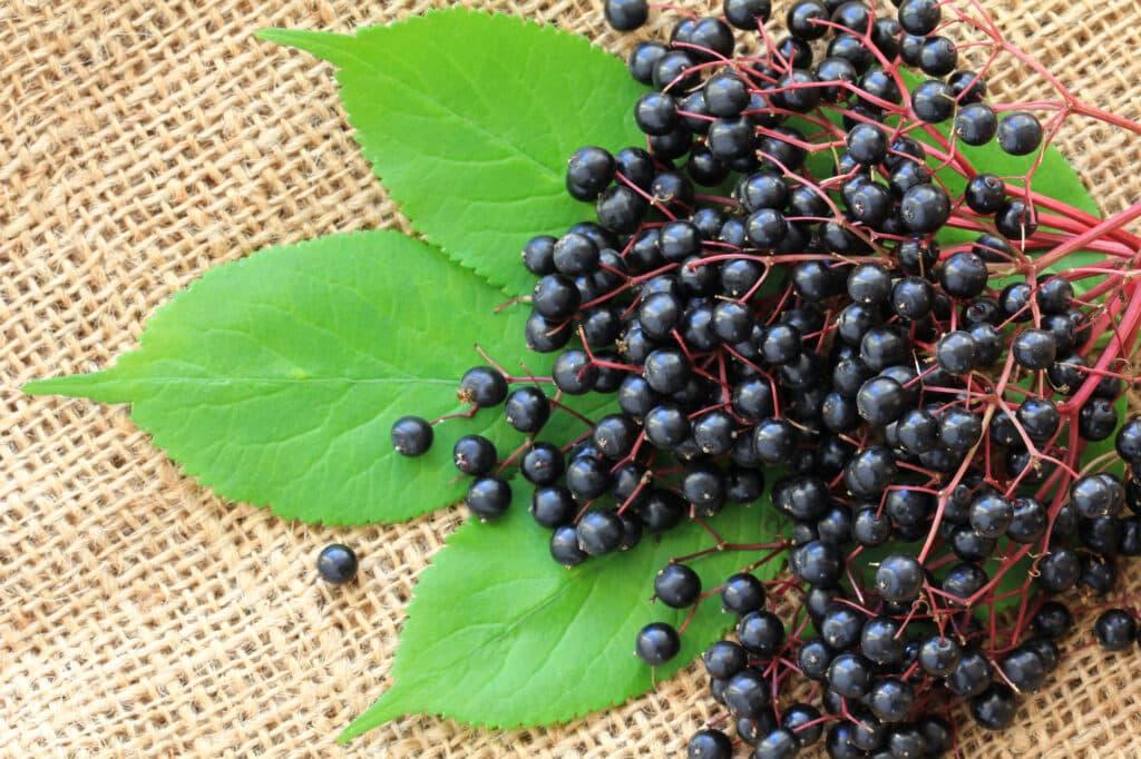Cooking with elderberries