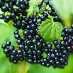 Elderberry substitute
