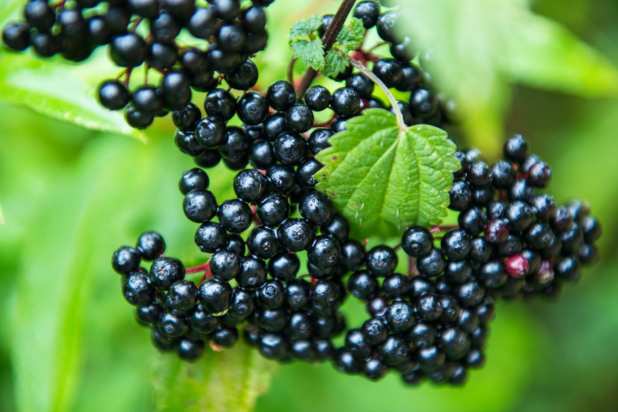 Elderberry substitute