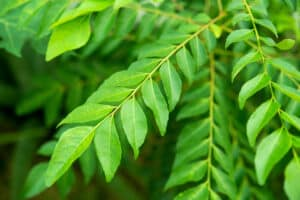 Cooking with curry leaves