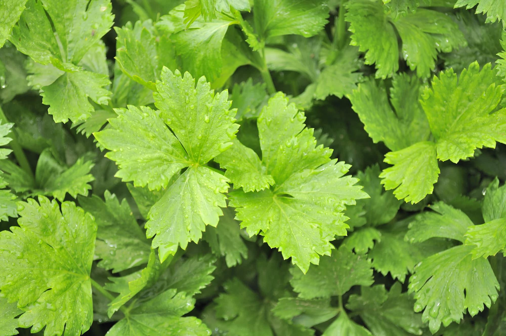 Celery Leaves Substitute