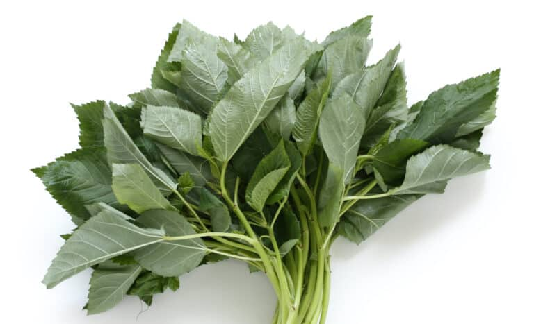 Molokhia leaves