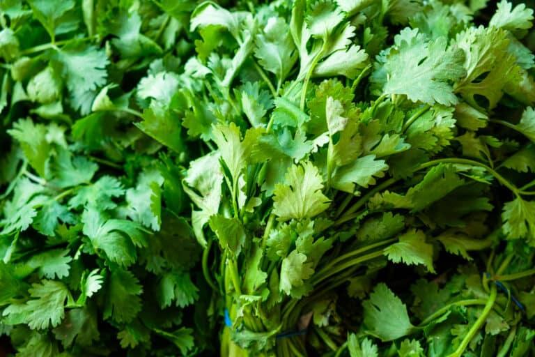Can you freeze cilantro?
